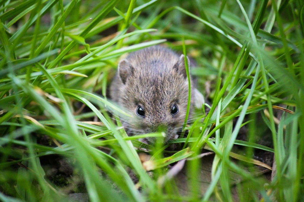 a picture of a mouse in a field